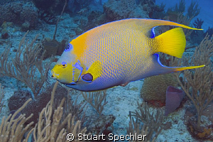 Natural beauty of a queen angelfish in her realm. by Stuart Spechler 